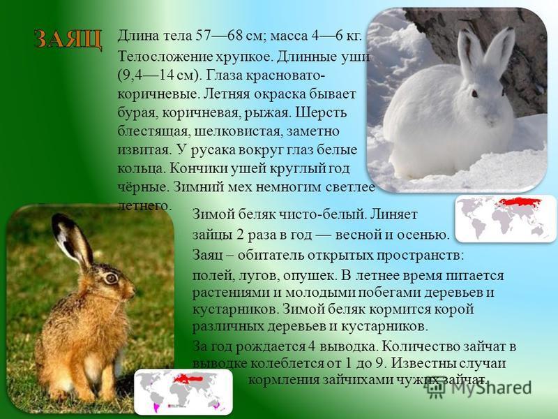 Зимой беляк чисто - белый. Линяет зайцы 2 раза в год весной и осенью. Заяц – обитатель открытых пространств : полей, лугов, опушек. В летнее время питается растениями и молодыми побегами деревьев и кустарников. Зимой беляк кормится корой различных де