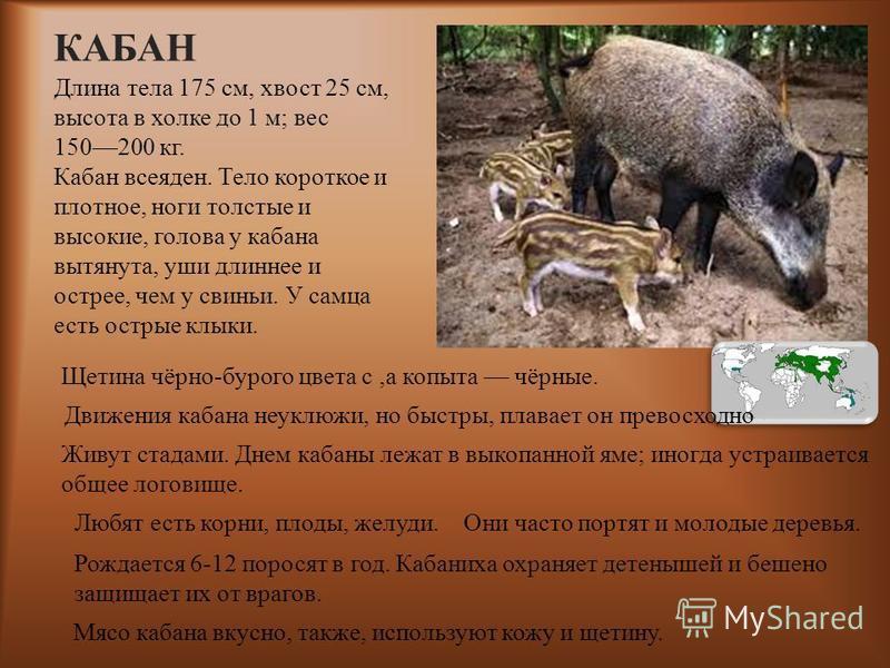 КАБАН Длина тела 175 см, хвост 25 см, высота в холке до 1 м ; вес 150200 кг. Кабан всеяден. Тело короткое и плотное, ноги толстые и высокие, голова у кабана вытянута, уши длиннее и острее, чем у свиньи. У самца есть острые клыки. Щетина чёрно-бурого