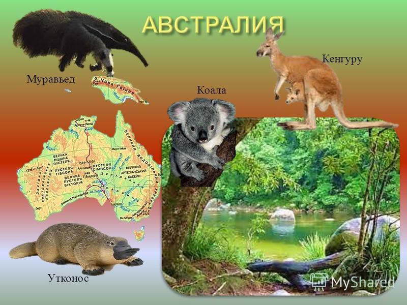 Муравьед Кенгуру Утконос Коала