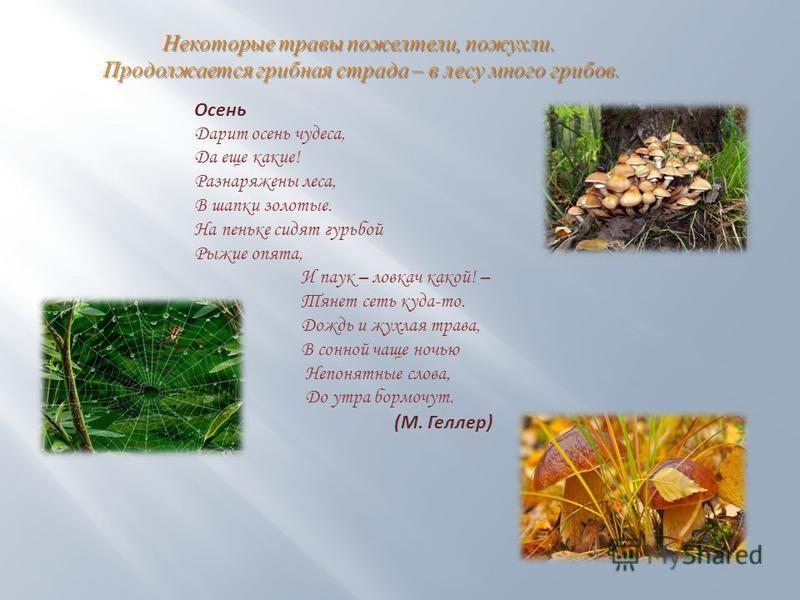Некоторые травы пожелтели, пожухли. Продолжается грибная страда – в лесу много грибов. Продолжается грибная страда – в лесу много грибов. Осень Дарит осень чудеса, Да еще какие! Разнаряжены леса, В шапки золотые. На пеньке сидят гурьбой Рыжие опята,