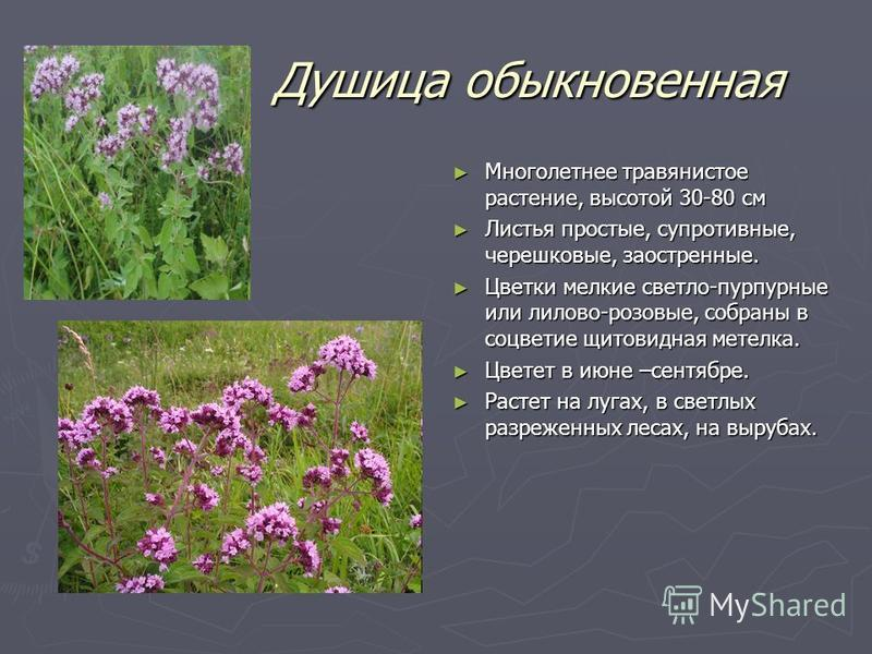 Душица обыкновенная Душица обыкновенная Многолетнее травянистое растение, высотой 30-80 см Листья простые, супротивные, черешковые, заостренные. Цветки мелкие светло-пурпурные или лилово-розовые, собраны в соцветие щитовидная метелка. Цветет в июне –