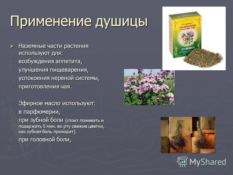 Применение душицы Наземные части растения используют для: Наземные части растения используют для: - возбуждения аппетита, - улучшения пищеварения, - успокоения нервной системы, - приготовления чая. Эфирное масло используют: Эфирное масло используют: