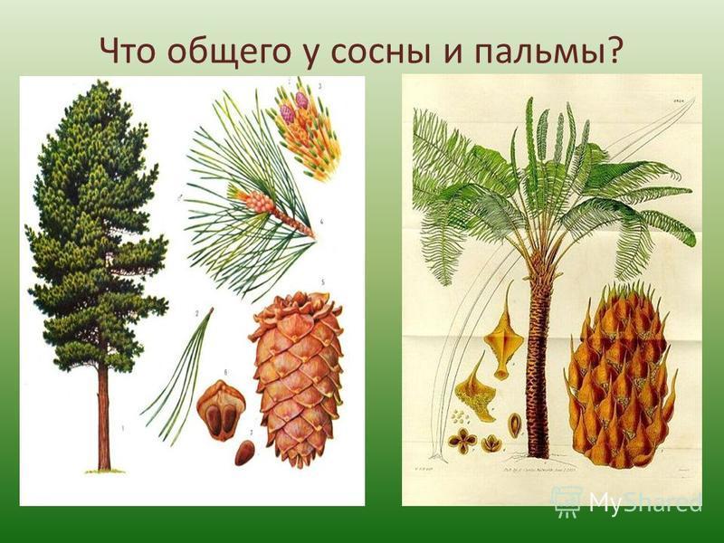 Что общего у сосны и пальмы?