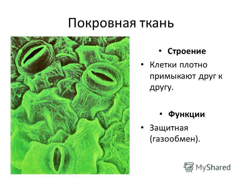 Покровная ткань Строение Клетки плотно примыкают друг к другу. Функции Защитная (газообмен).