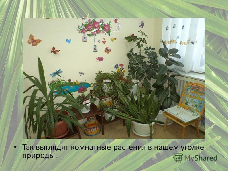 Так выглядят комнатные растения в нашем уголке природы.