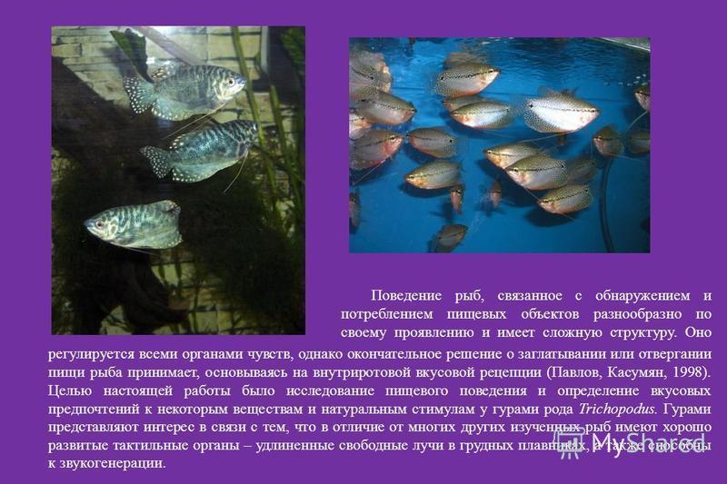 Поведение рыб, связанное с обнаружением и потреблением пищевых объектов разнообразно по своему проявлению и имеет сложную структуру. Оно моро регулируется всеми органами чувств, однако окончательное решение о заглатывании или отвергании пищи рыба при