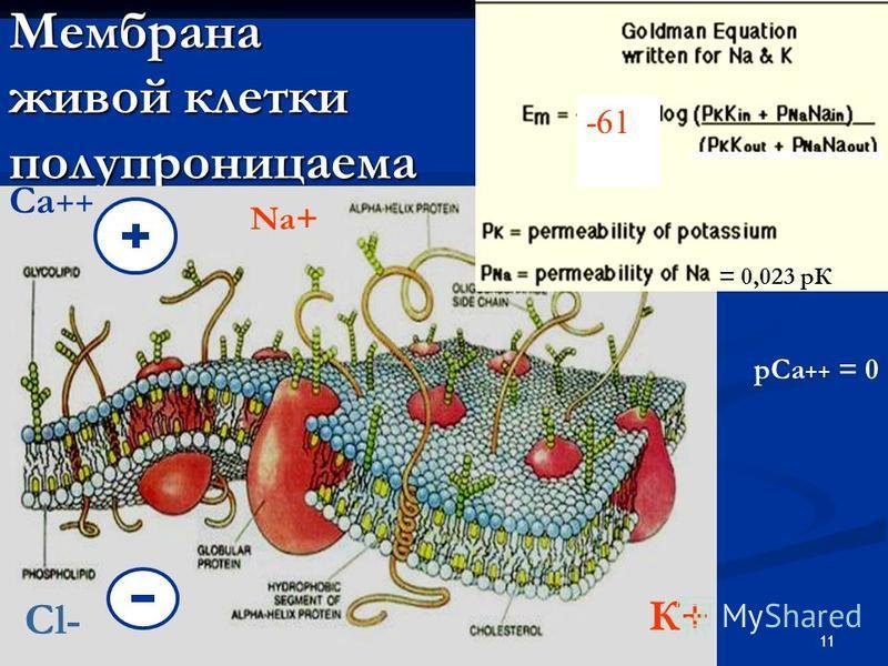 11 Мембрана живой клетки полупроницаема -61 К+ Na+ = 0,023 рК Са ++ р Са ++ = 0 Cl-