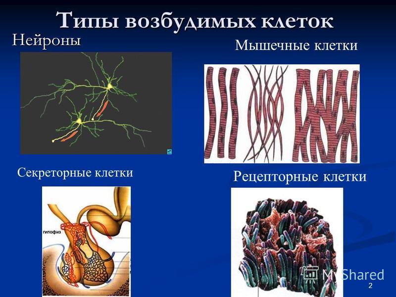 2 Типы возбудимых клеток Нейроны Мышечные клетки Секреторные клетки Рецепторные клетки