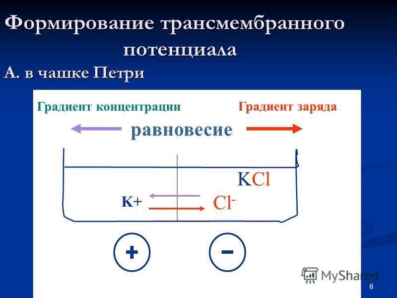 6 Формирование трансмембранного потенциала А. в чашке Петри KCl K+ Cl - Градиент концентрации Градиент заряда равновесие