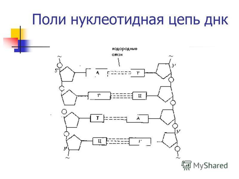 Поли нуклеотидная цепь днк