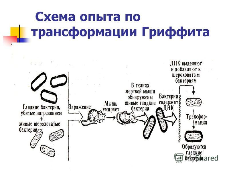 Схема опыта по трансформации Гриффита