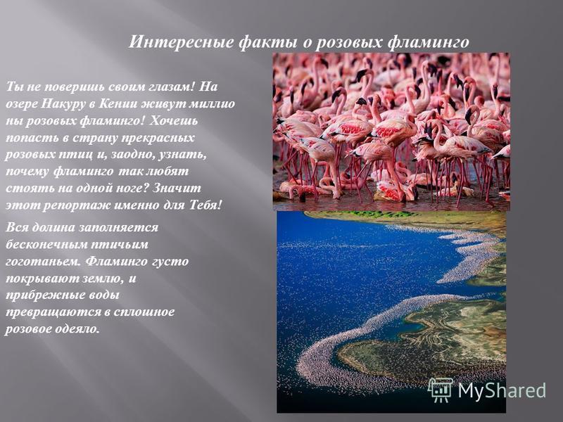 Интересные факты о розовых фламинго Ты не поверишь своим глазам ! На озере Накуру в Кении живут миллионы розовых фламинго ! Хочешь попасть в страну прекрасных розовых птиц и, заодно, узнать, почему фламинго так любят стоять на одной ноге ? Значит это