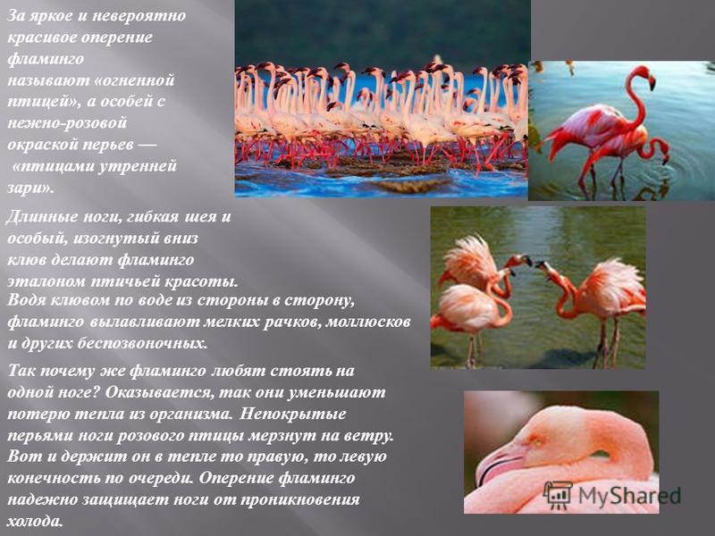 За яркое и невероятно красивое оперение фламинго называют « огненной птицей », а особей с нежно - розовой окраской перьев « птицами утренней зари ». Длинные ноги, гибкая шея и особый, изогнутый вниз клюв делают фламинго эталоном птичьей красоты. Водя