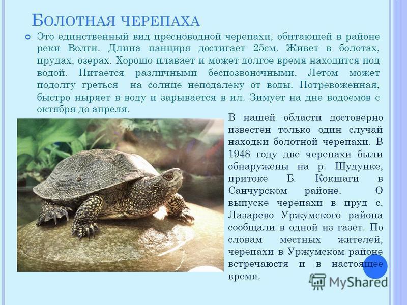 Б ОЛОТНАЯ ЧЕРЕПАХА Это единственный вид пресноводной черепахи, обитающей в районе реки Волги. Длина панциря достигает 25 см. Живет в болотах, прудах, озерах. Хорошо плавает и может долгое время находится под водой. Питается различными беспозвоночными