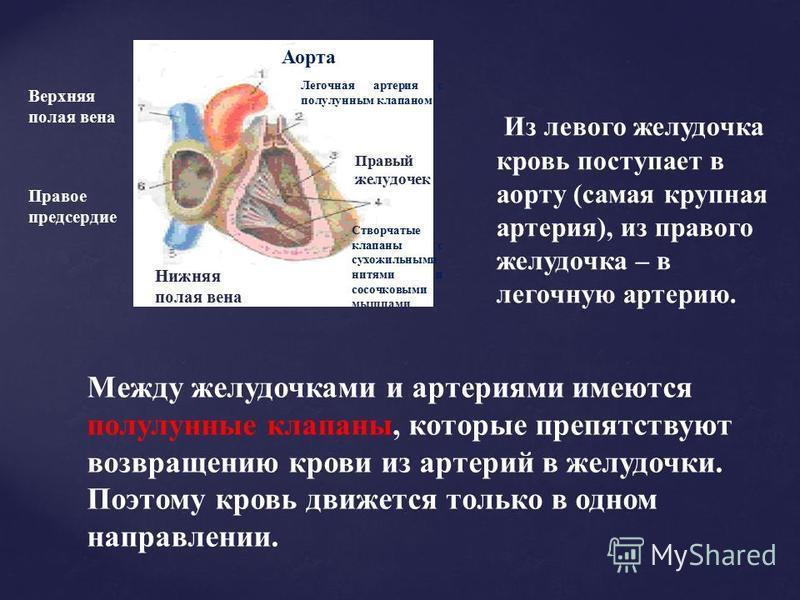 Из левого желудочка кровь поступает в аорту (самая крупная артерия), из правого желудочка – в легочную артерию. Аорта Легочная артерия с полулунным клапаном Правый желудочек Створчатые клапаны с сухожильными нитями и сосочковыми мышцами Нижняя полая