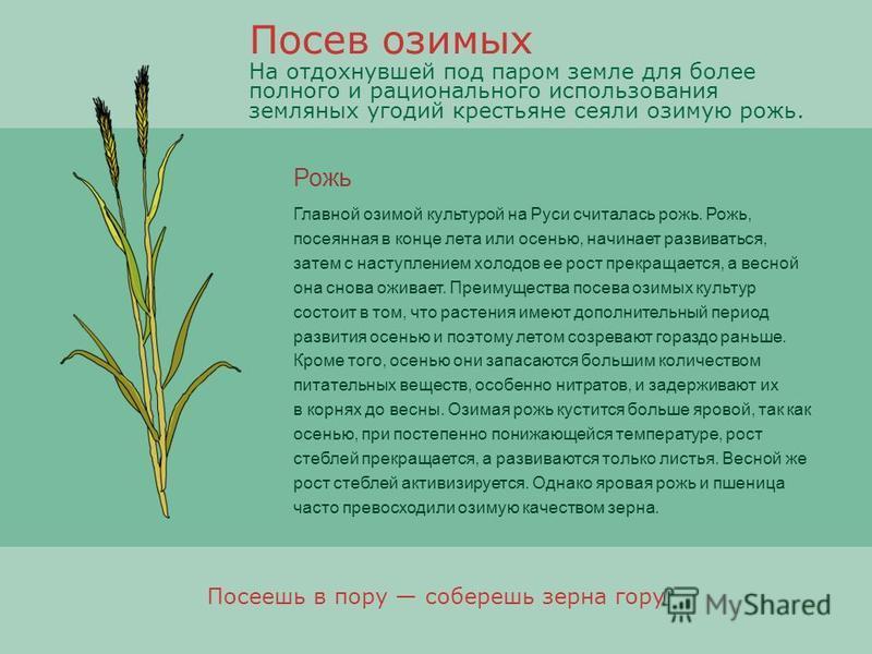 Рожь Главной озимой культурой на Руси считалась рожь. Рожь, посеянная в конце лета или осенью, начинает развиваться, затем с наступлением холодов ее рост прекращается, а весной она снова оживает. Преимущества посева озимых культур состоит в том, что
