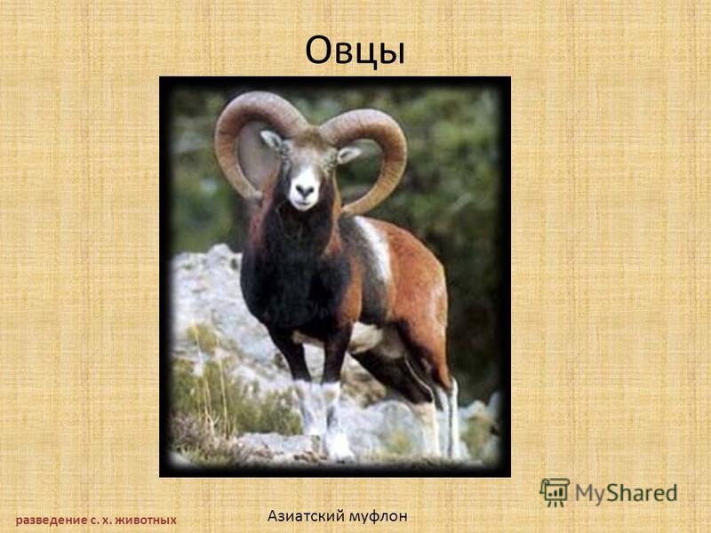Овцы разведение с. х. животных Азиатский муфлон
