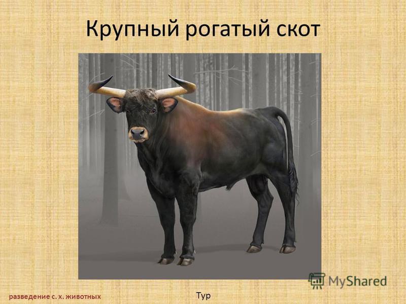 Крупный рогатый скот разведение с. х. животных Тур