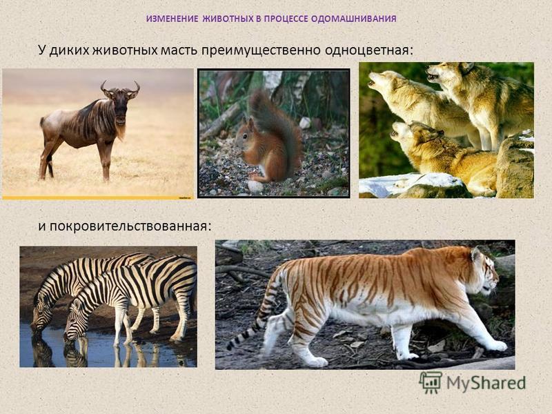 У диких животных масть преимущественно одноцветная: и покровительство ванная: