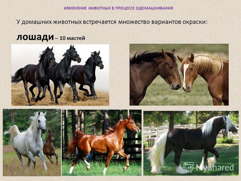 ИЗМЕНЕНИЕ ЖИВОТНЫХ В ПРОЦЕССЕ ОДОМАШНИВАНИЯ У домашних животных встречается множество вариантов окраски: лошади – 10 мастей
