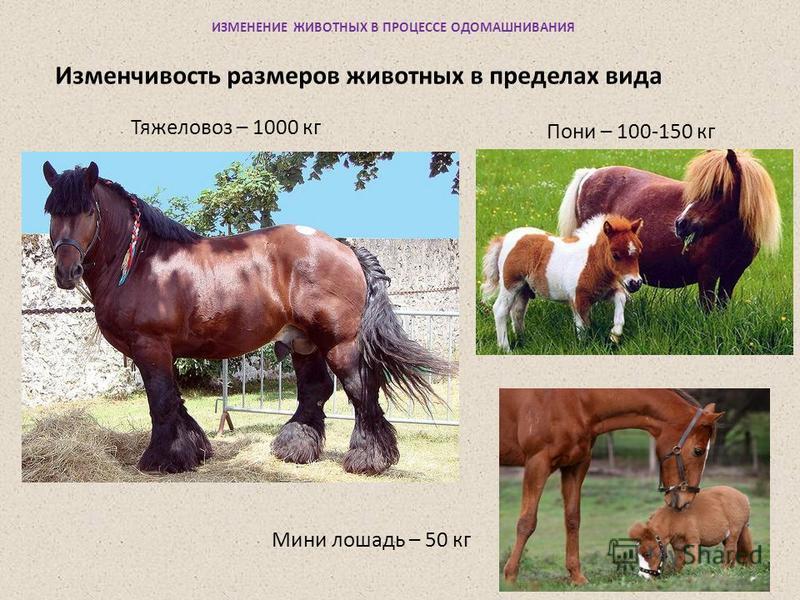 ИЗМЕНЕНИЕ ЖИВОТНЫХ В ПРОЦЕССЕ ОДОМАШНИВАНИЯ Тяжеловоз – 1000 кг Изменчивость размеров животных в пределах вида Пони – 100-150 кг Мини лошадь – 50 кг
