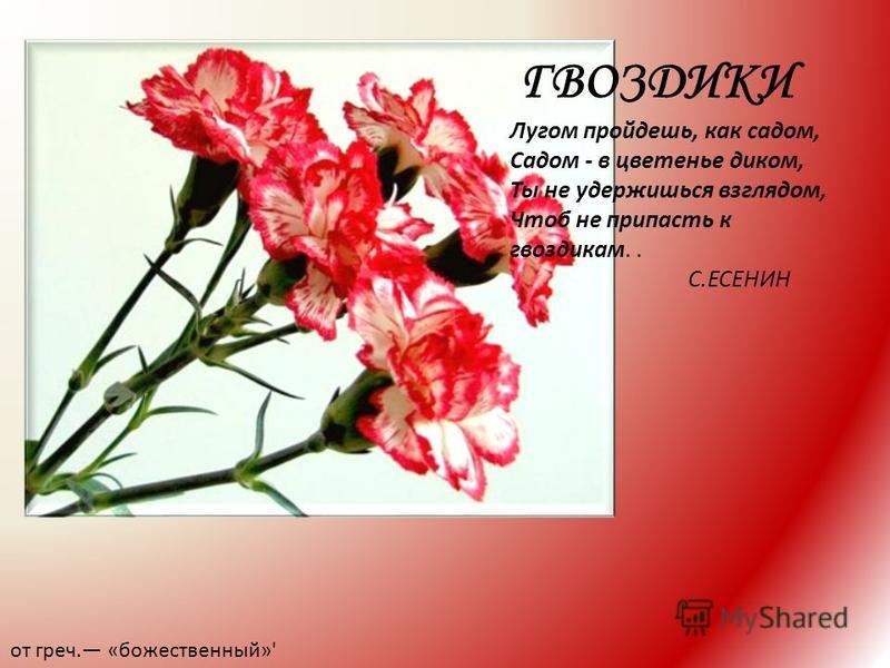 ГВОЗДИКИ от греч. «божественный»' Лугом пройдешь, как садом, Садом - в цветенье диком, Ты не удержишься взглядом, Чтоб не припасть к гвоздикам.. С.ЕСЕНИН