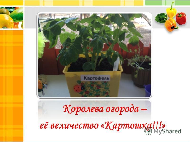 Королева огорода – её величество «Картошка!!!»