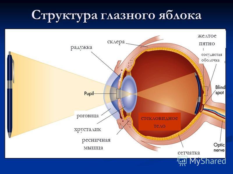 Структура глазного яблока сетчатка желтое пятно стекловидное тело ресничная мышца хрусталик роговица радужка склера сосудистая оболочка
