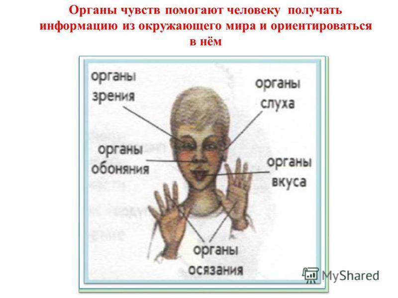 Органы чувств помогают человеку получать информацию из окружающего мира и ориентироваться в нём