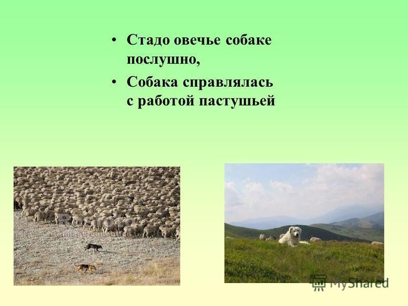 Стадо овечье собаке послушно, Собака справлялась с работой пастушьей