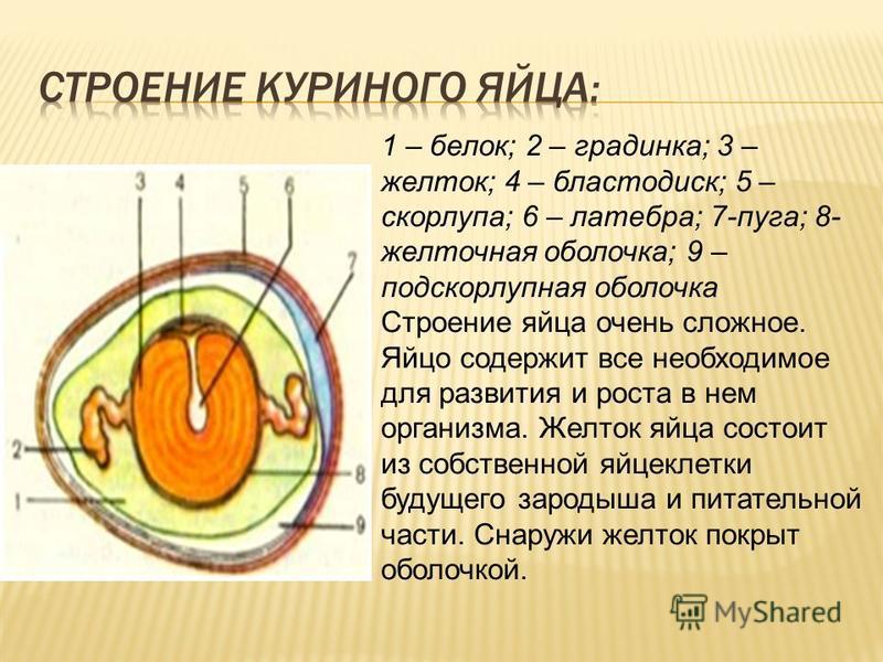 1 – белок; 2 – градинка; 3 – желток; 4 – бластодиск; 5 – скорлупа; 6 – латебра; 7-пуга; 8- желточная оболочка; 9 – подскорлупная оболочка Строение яйца очень сложное. Яйцо содержит все необходимое для развития и роста в нем организма. Желток яйца сос