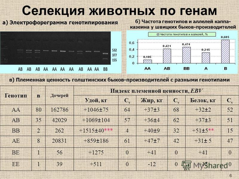 Селекция животных по генам Генотипn Дочерей Индекс племенной ценности, EBV Удой, кгСvСv Жир, кгСvСv Белок, кгСvСv АА80162786+1046±7564+37±368+32±252 АВ3542029+1069±10457+36±462+37±351 ВВ2262+1515±40***4+40±932+51±5**15 АЕ820831+859±18661+47±742+31± 5