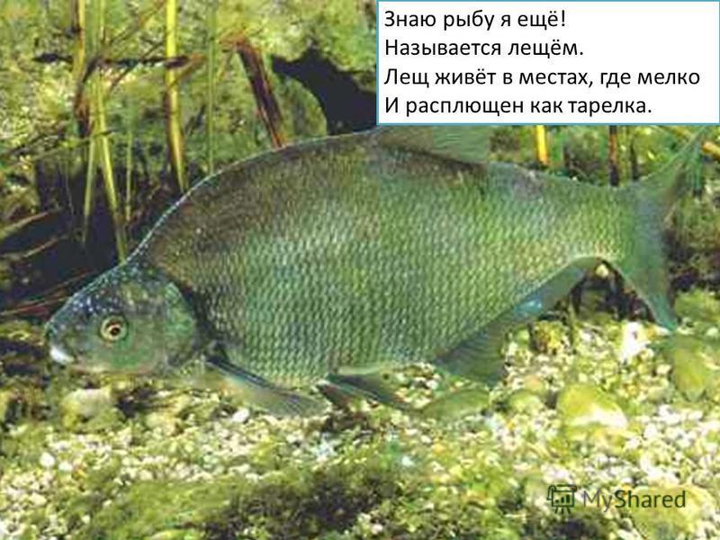 Знаю рыбу я ещё! Называется лещом. Лещ живёт в местах, где мелко И расплющен как тарелка.
