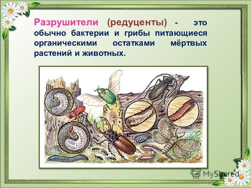 Потребители (консументы) – гетеротрофные организмы, потребляющие органическое вещество. Консументы бывают трех порядков: растительноядные животные плотоядные животные всеядные животные