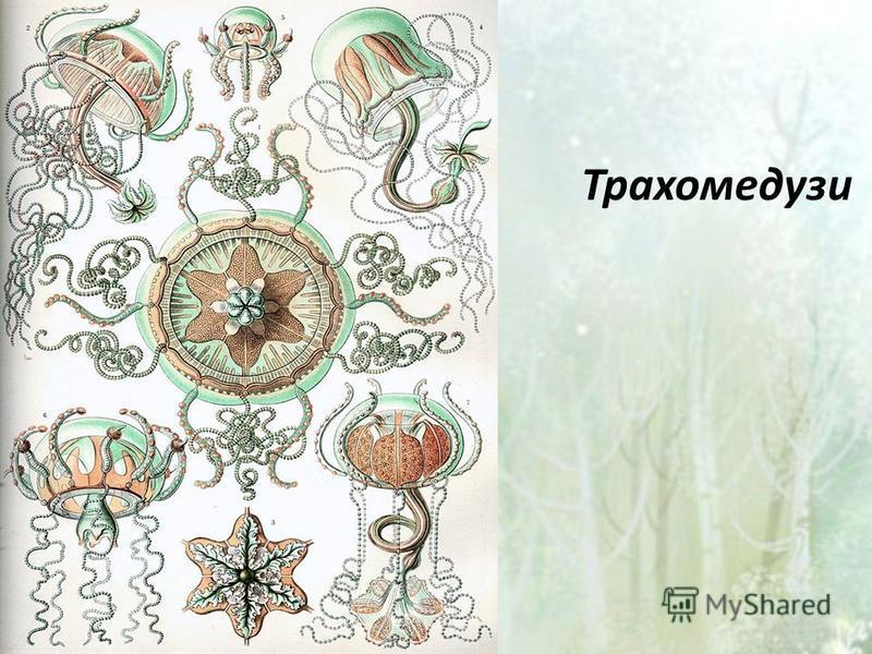 Трахомедузи