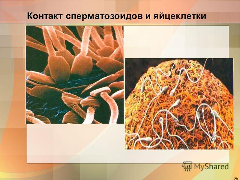 29 Контакт сперматозоидов и яйцеклетки