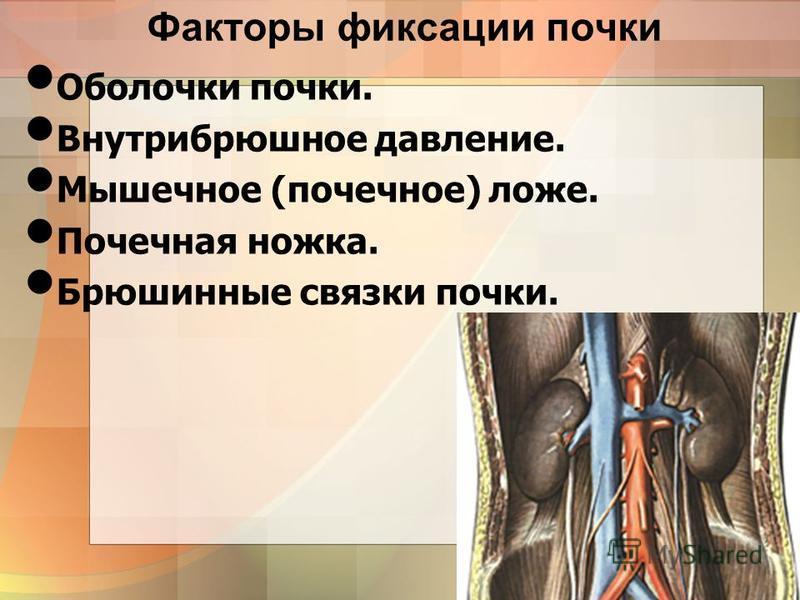8 Факторы фиксации почки Оболочки почки. Внутрибрюшное давление. Мышечное (почечное) ложе. Почечная ножка. Брюшинные связки почки.