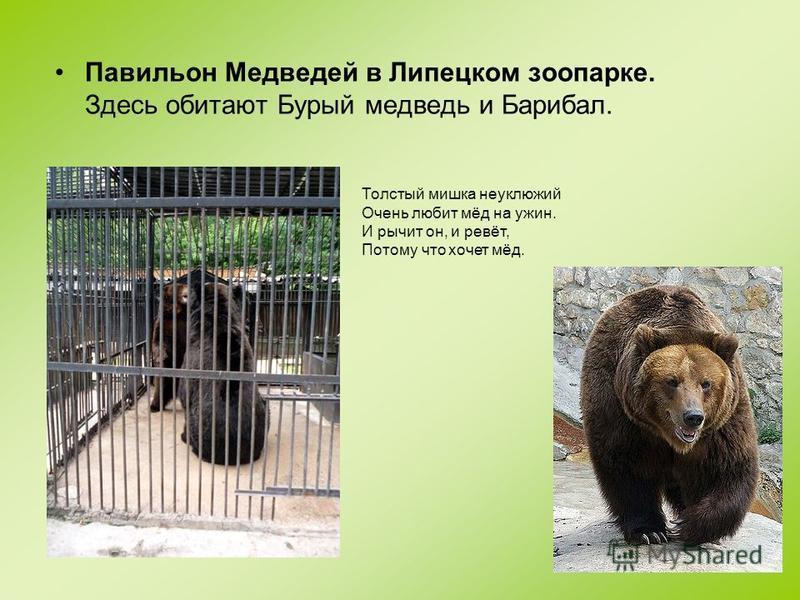 Павильон Медведей в Липецком зоопарке. Здесь обитают Бурый медведь и Барибал. Толстый мишка неуклюжий Очень любит мёд на ужин. И рычит он, и ревёт, Потому что хочет мёд.