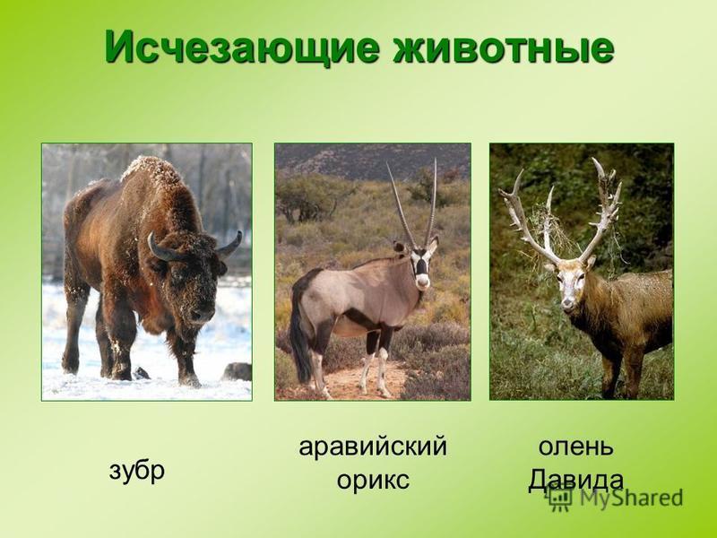 Исчезающие животные зубр аравийский орикс олень Давида