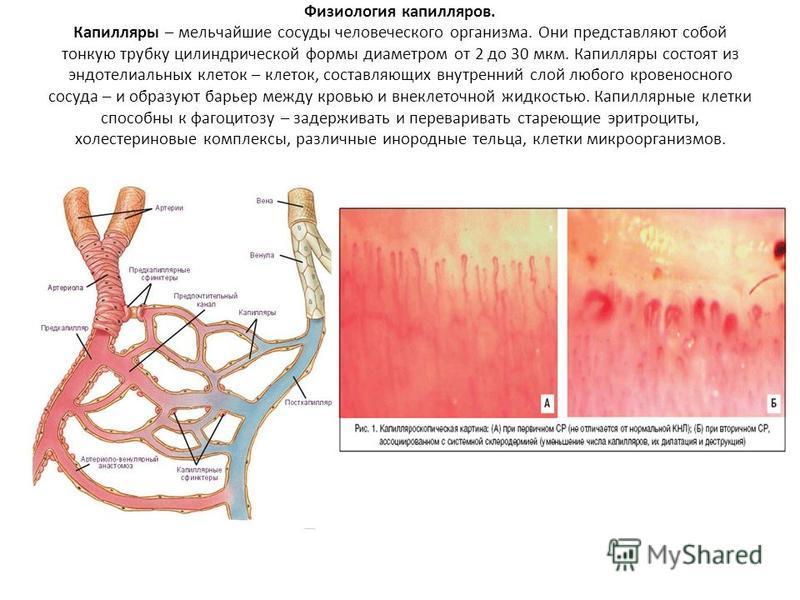 Физиология капилляров. Капилляры – мельчайшие сосуды человеческого организма. Они представляют собой тонкую трубку цилиндрической формы диаметром от 2 до 30 мкм. Капилляры состоят из эндотелиальных клеток – клеток, составляющих внутренний слой любого