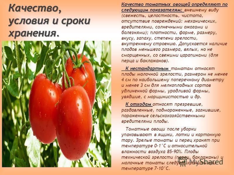 Качество, условия и сроки хранения. Качество томатных овощей определяют по следующим показателям: внешнему виду (свежесть, целостность, чистота, отсутствие повреждений: механических, вредителями, солнечными ожогами и болезнями); плотности, форме, раз