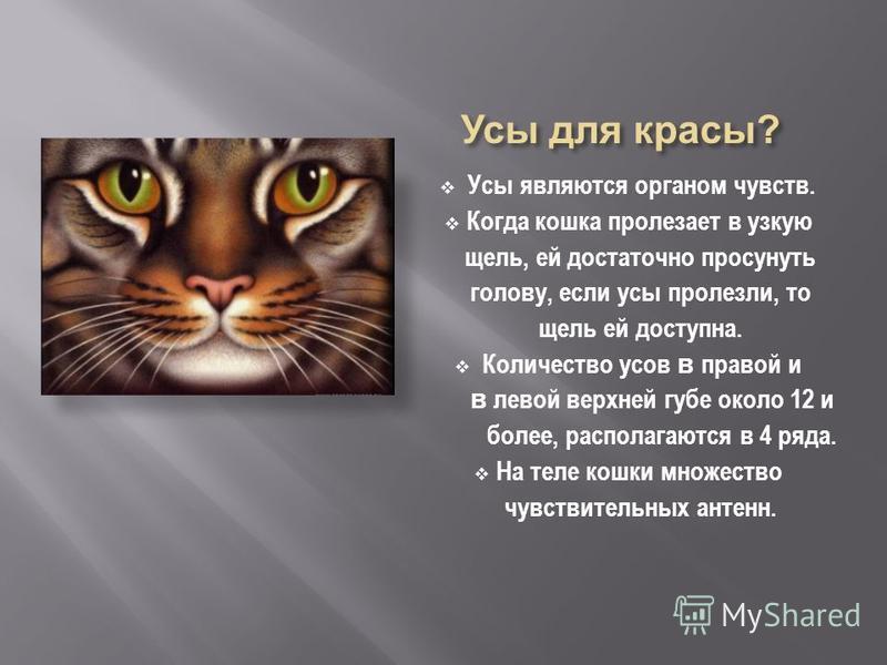Усы являются органом чувств. Когда кошка пролезает в узкую щель, ей достаточно просунуть голову, если усы пролезли, то щель ей доступна. Количество усов в правой и в левой верхней губе около 12 и более, располагаются в 4 ряда. На теле кошки множество