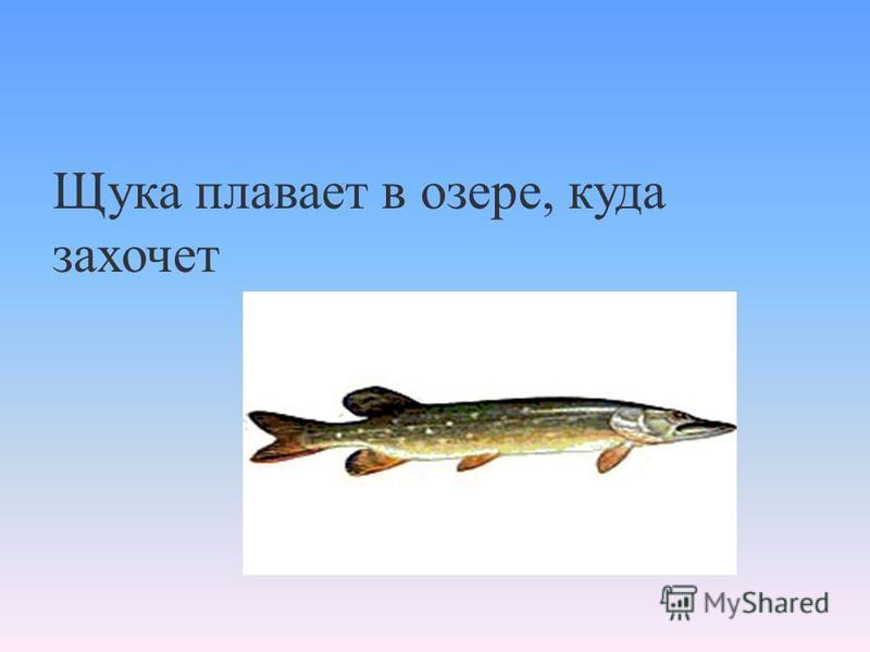 Щука плавает в озере, куда захочет