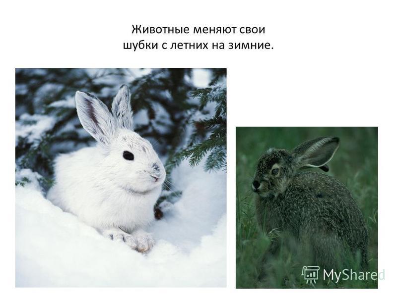 Животные меняют свои шубки с летних на зимние.