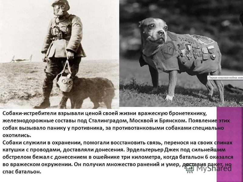 Собаки-истребители взрывали ценой своей жизни вражескую бронетехнику, железнодорожные составы под Сталинградом, Москвой и Брянском. Появление этих собак вызывало панику у противника, за противотанковыми собаками специально охотились. Собаки служили в