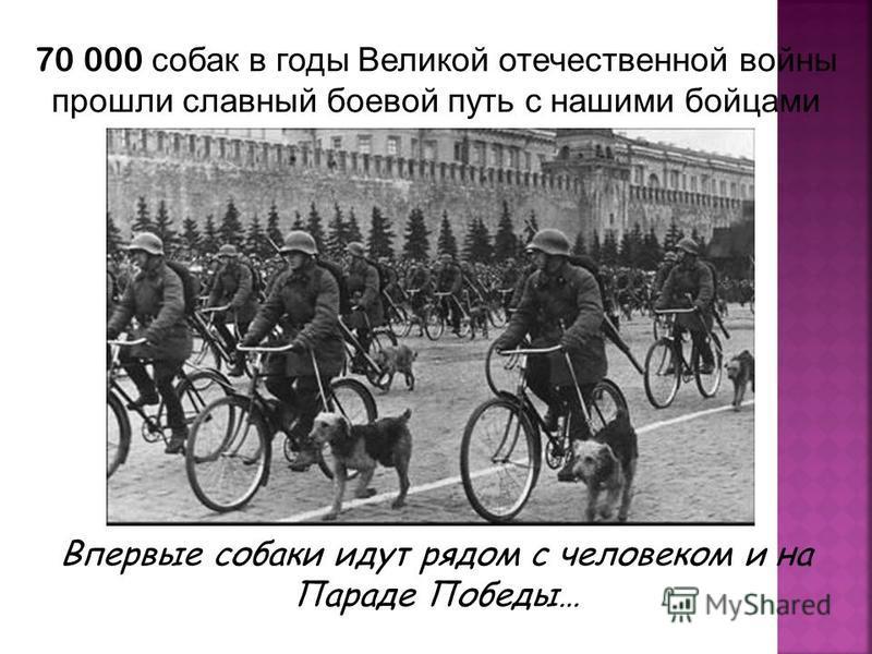 Впервые собаки идут рядом с человеком и на Параде Победы… 70 000 собак в годы Великой отечественной войны прошли славный боевой путь с нашими бойцами Москвы до Берлина …