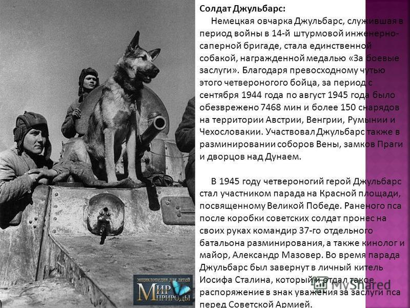 Солдат Джульбарс: Немецкая овчарка Джульбарс, служившая в период войны в 14-й штурмовой инженерно- саперной бригаде, стала единственной собакой, награжденной медалью «За боевые заслуги». Благодаря превосходному чутью этого четвероногого бойца, за пер