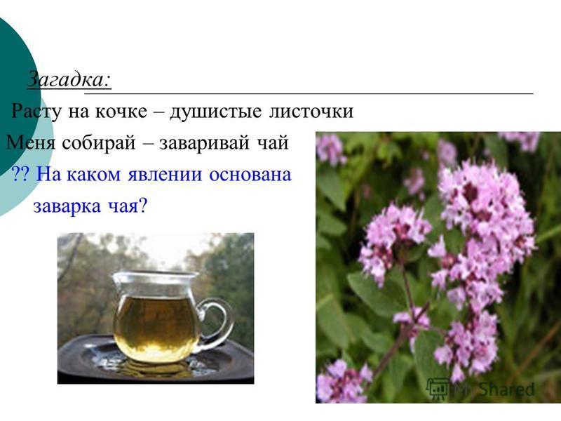 Загадка: Расту на кочке – душистые листочки Меня собирай – заваривай чай ?? На каком явлении основана заварка чая?