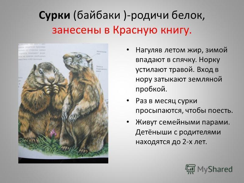 Сурки (байбаки )-родичи белок, занесены в Красную книгу. Нагуляв летом жир, зимой впадают в спячку. Норку устилают травой. Вход в нору затыкают земляной пробкой. Раз в месяц сурки просыпаются, чтобы поесть. Живут семейными парами. Детёныши с родителя