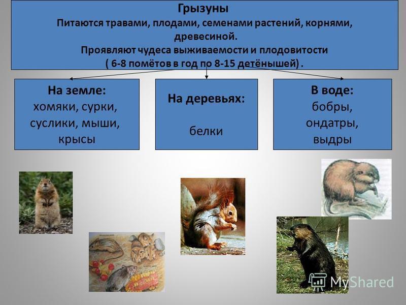 Грызуны Питаются травами, плодами, семенами растений, корнями, древесиной. Проявляют чудеса выживаемости и плодовитости ( 6-8 помётов в год по 8-15 детёнышей). На земле: хомяки, сурки, суслики, мыши, крысы На деревьях: белки В воде: бобры, ондатры, в